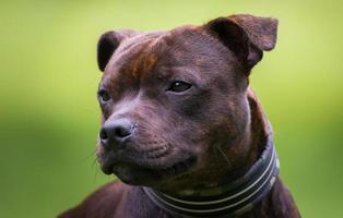 Staffordshire bull terrier foto