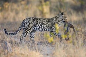 Leopard mit Frühstück