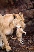 Löwin trägt Jungtier foto