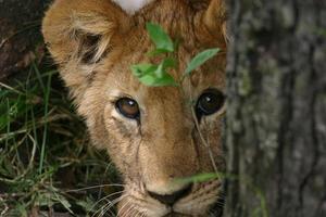 Löwenbaby foto