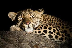 weiblicher Leopard