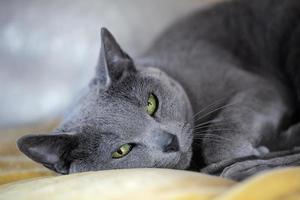 russische blaue Katze foto