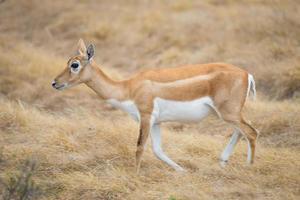 wilde Antilopen Damhirschkuh