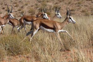 Springbock Herde