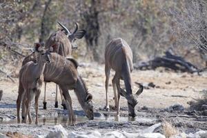 Familie von Kudu-Antilopen, die an einem Wasserloch trinken foto