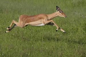 Impala laufen foto