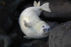 grauer Robbenwelpe in Schottland