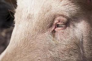 Schwein auf einem Bauernhof foto