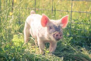 junges Schwein foto
