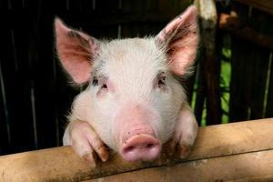rosa Schwein foto