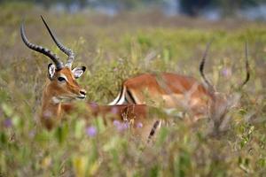Impala zwischen rosa Laub