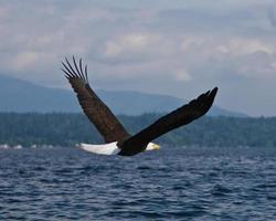 Weißkopfseeadler im Flug foto