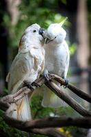 weißer Kakadu, Kakadu mit Schwefelhaube (cacatua galerita). foto