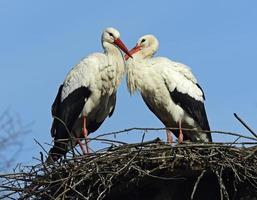 Weißer Storch foto