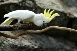 weißer Kakadu-Papageienvogel mit gelbem Kamm auf Holz foto
