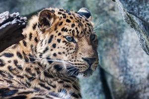 Amur-Leopard ruht auf Felsen foto