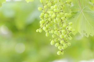 grüne Traube foto