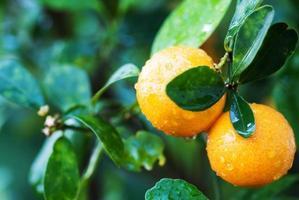 kleiner Orangenbaum foto