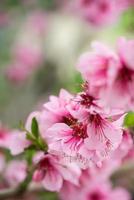 blühender Ast im Frühjahr mit unscharfem Hintergrund