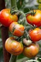 verrottete Tomaten foto