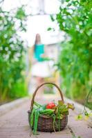 Nahaufnahmekorb des Grüns und der Vagetabellen im Gewächshaus foto