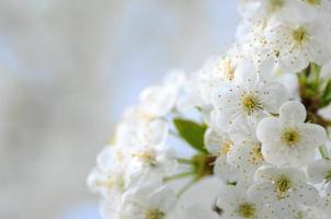 Nahaufnahme von zarten Kirschbaumblumen
