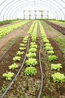 Salat wächst im Polytunnel