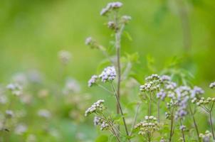 Gras, Gras, lila foto