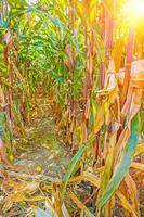 Betrachten Sie durch Pflanzenreihen auf Maisfeld Instagram Stil foto