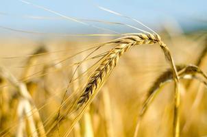 Maisfeld - wachsender Mais