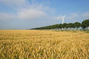 Mais wächst auf einem Feld im Sommer