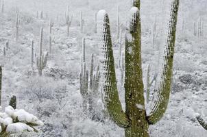 schneebedeckter Saguaro foto