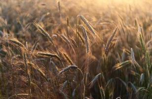 Roggenohren im goldenen Sonnenuntergangslicht foto
