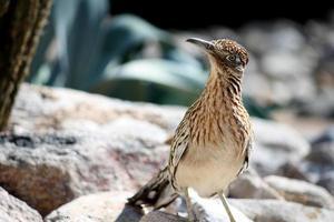 größerer Roadrunner Vogel foto