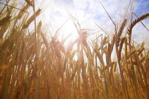 Getreide in der Sonne foto