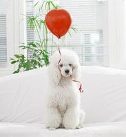 weißer Hund mit einem Ballon foto