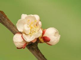 Frühlingsknospe foto