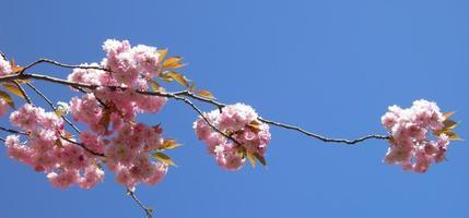 rosa Frühling foto