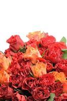schöne Blüten von roten und orange Rosen foto