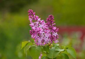 Frühling lila foto