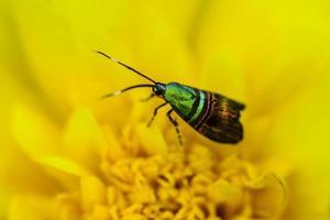 Metallischer Schmetterling auf afrikanischer Ringelblume foto