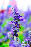 blühende Salvia-Blüten