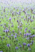 lila Salvia Blumen foto