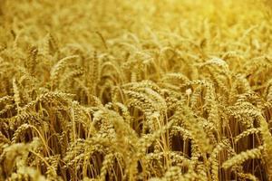 Mais auf dem Feld bei Sonnenuntergang foto