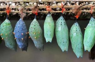 Reihen von Schmetterlingskokons
