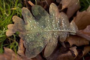 Regen auf Winterblättern. foto