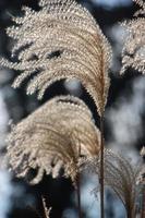 hohe Wiesengräser im Winter foto
