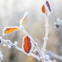 Winterhintergrund, Raureif auf Blättern