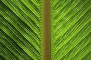 grünes Bananenblatt