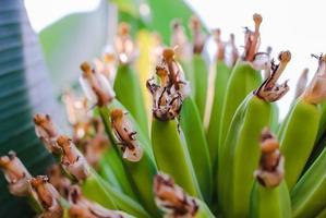 grüne Banane foto